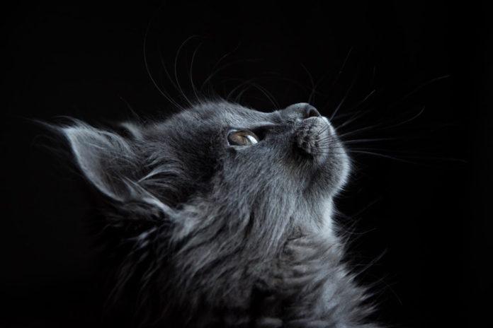 gatto adulto