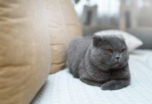 gatti che soffiano