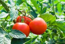 come coltivare i pomodori nell'orto