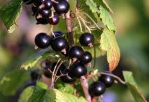 Ribes Nigrum